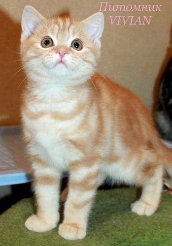 Британские  котята кремовый мрамор из питомника